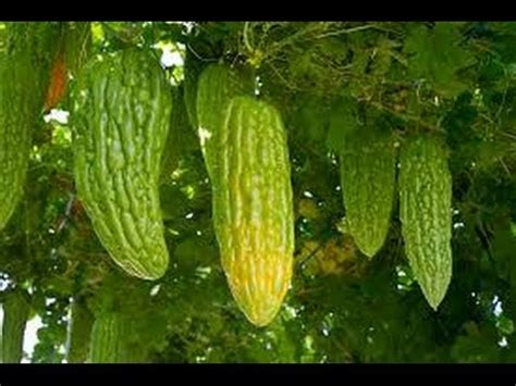 HOW TO GROW BITTER MELONS ( KARELA) FROM SEEDS