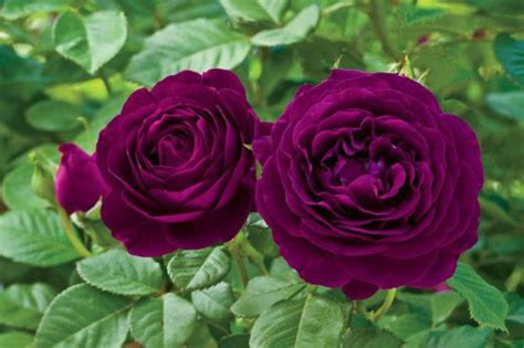 Favorite Roses from around the World | Page 4 | Gardening
