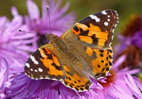 Millions of butterflies are migrating across California