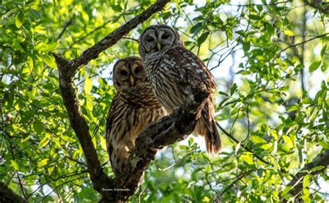 Barred owls, Central Florida: EHDesigns: Galleries